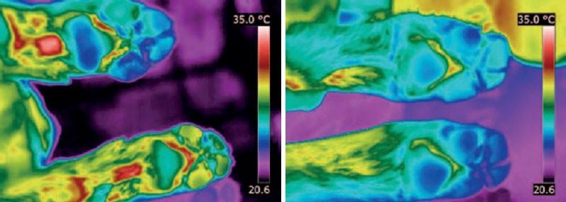 На фото слева: одна лапа горячее из-за занозы. На фото справа: температура задних лап одинаковая.